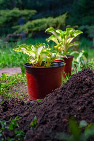 Potted plants are in the garden. Seedlings Hosta are prepared for transplanting into the soil to create landscape design in the park.
