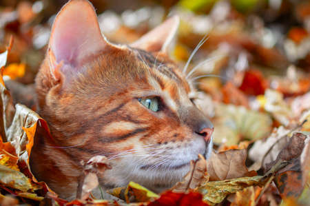Portrait golden Bengal cat. Green-eyed bengal cat, side view. Sunny autumn background.