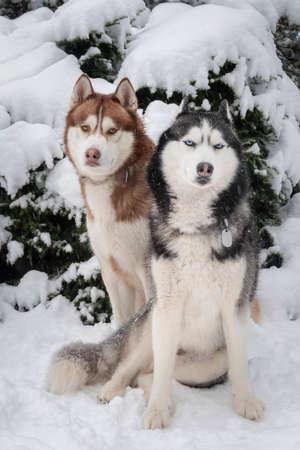 Siberian Husky dogs in snow. Standard-Bild