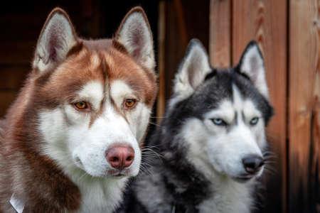Portrait Siberian husky dogs on rustic wooden background. Standard-Bild