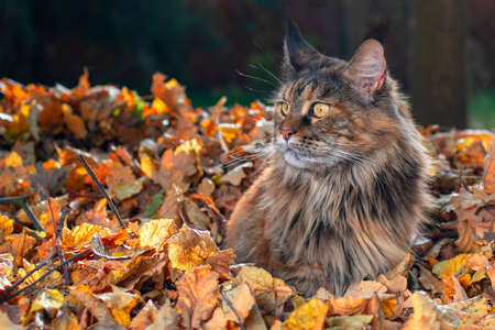 Maine Coon cat sitting in fallen leaves in autumn park, sunny day