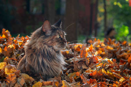 Maine Coon cat sitting in fallen leaves in autumn park, sunny day, copy space