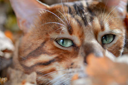 Bengal cat portrait. Close up Standard-Bild