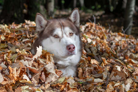Red Siberian husky dog sits in pile of fallen golden yellow leaves in sunny autumn forest.