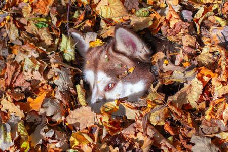 Redhead husky dog burrowed into pile of fallen yellow leaves. Siberian husky hidden in the autumn foliage. Standard-Bild