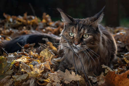 Maine Coon cat in yellow autumn leaves, evening dusk.