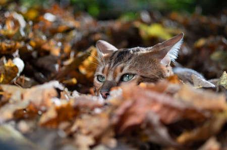 Bengal cat in autumn foliage. Portrait, front view, close up