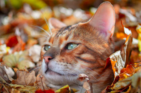 Portrait Bengal cat. Green-eyed young bengal cat, side view. Sunny autumn background.