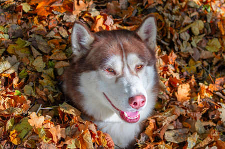Smiling red siberian husky dog in pile of fallen leaves in the autumn sunny park. Standard-Bild