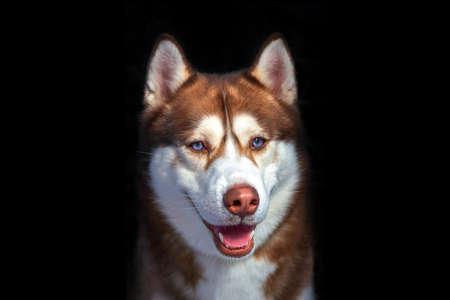 Cute blue eyed husky dog looks like smiling. Portrait siberian husky in the studio on black background. Standard-Bild
