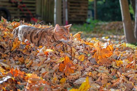 Bengal Cat Walk outdoor, side view, nature autumn background. Standard-Bild