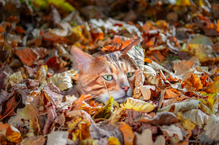 Bengal cat sheltered in fallen leaves in autumn park, sunny day. Cat lay low.