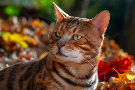 Bengal cat in the autumn sunny forest. Standard-Bild