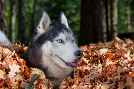 Blue-eyed Siberian husky in pile of autumn yellow leaves, sunny day in park. Standard-Bild