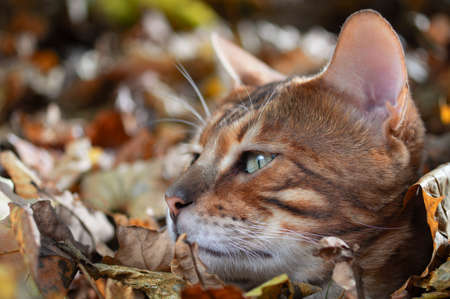 Bengal cat on the background of autumn foliage. Portrait, side view Standard-Bild