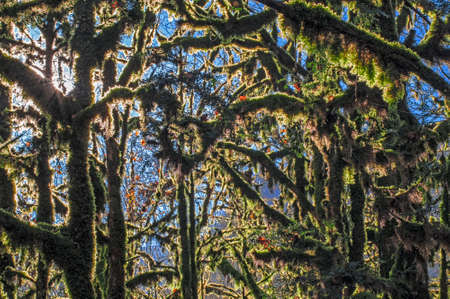 Thick green moss hangs from boxwood trees.
