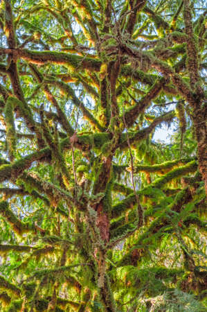 Thick green moss hangs from the branches of boxwood trees.