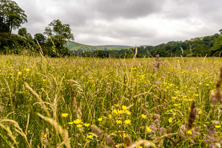 buttercups in a field on a summers day Stock Photo