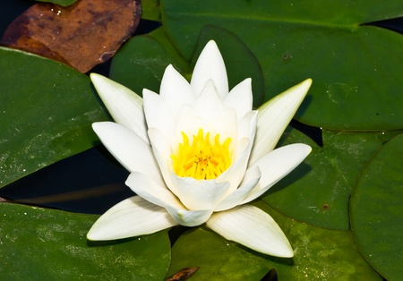 Water lily photo