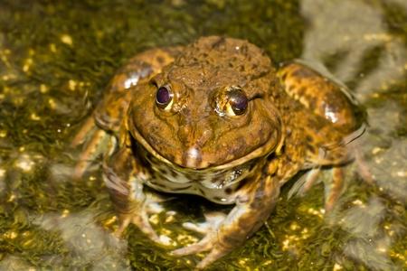 Macro Brown frog  photo