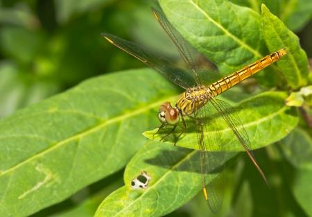 Macro dragonfly photo