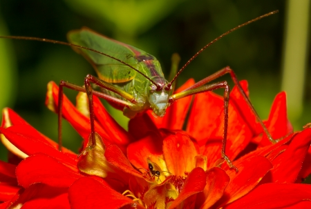 Green grasshopper on red flowers  Stock Photo - 13867525