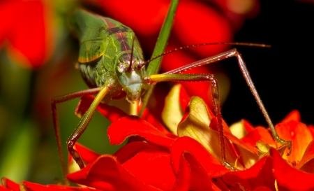 Green grasshopper on red flowers Stock Photo - 13867514