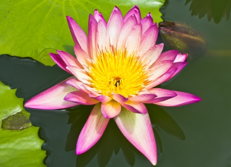 Water lily Stock Photo - 14011012