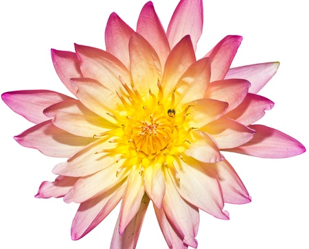 Water lily Stock Photo - 14011263