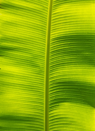 Banana leaf background, Banana leaves reflects green light  photo