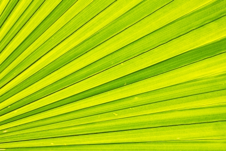 texture of palm leaf Stock Photo - 17907925
