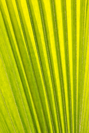 texture of palm leaf photo