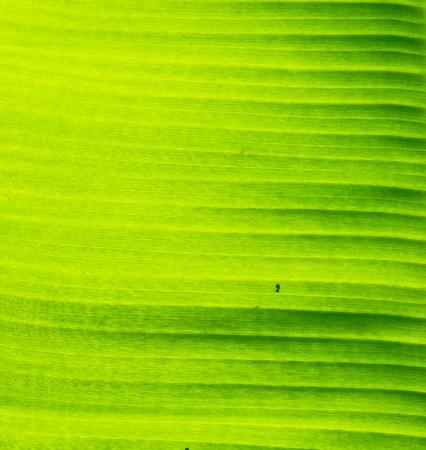 banana leaf: Banana leaf background Stock Photo