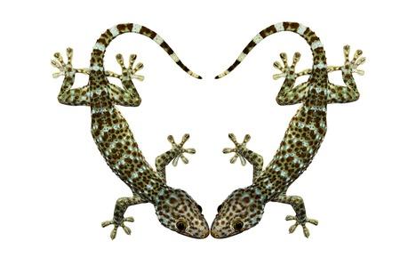 Gekko gecko isolated on white background photo