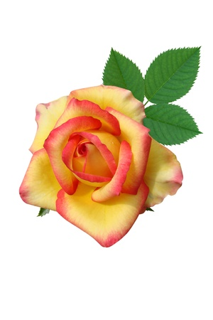 Roses flowers it is isolated a holiday Stock Photo - 14102134
