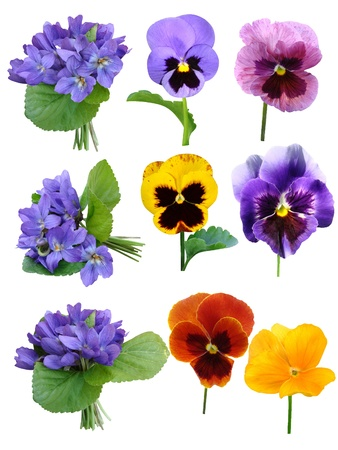violets: pansies Violets flowers it is isolated on a white background