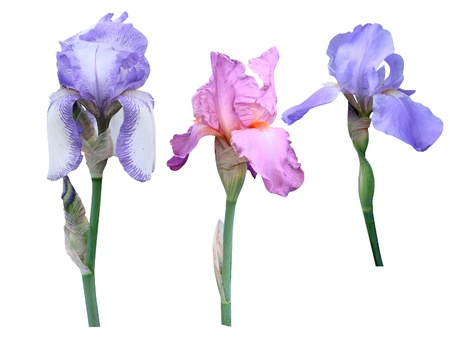 Irises flowers it is isolated on a white background  photo