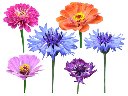 majors: Carnations flowers majors it is isolated on a white background  Stock Photo