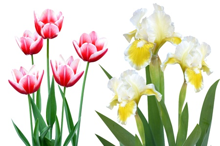 tulips irises flowers it is isolated a holiday Stock Photo - 14194273