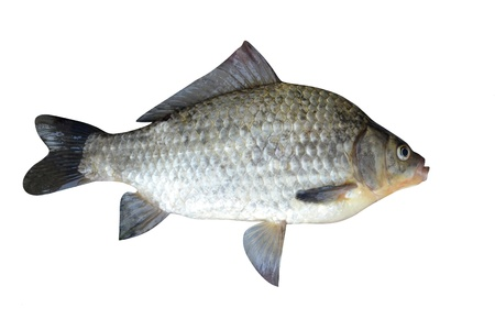 fish a crucian it is isolated on a white background  Stock Photo - 14194268