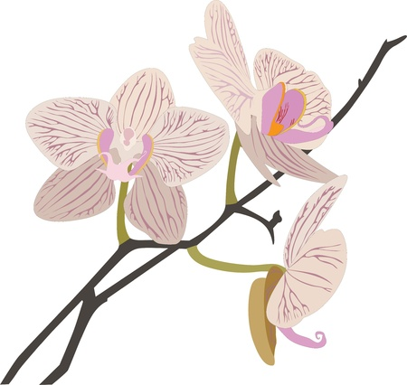 Orchids flowers it is isolated
