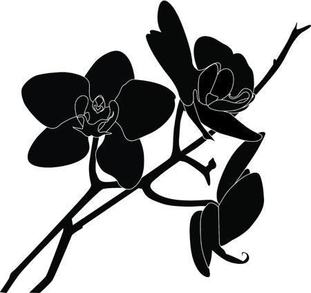 orchidee: Fiori di orchidee è isolato