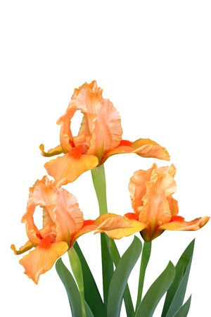 irises flowers it is isolated a holiday Stock Photo - 14266241