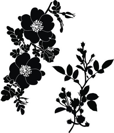 botanical branch: rose dogrose flowers it is isolated a holiday  Illustration