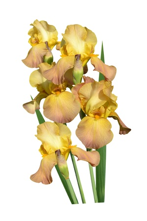 irises flowers it is isolated a holiday  photo