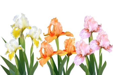 irises flowers it is isolated a holiday Stock Photo - 14293972