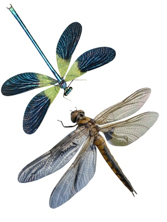 Dragonfly insects it is isolated  Stock Photo