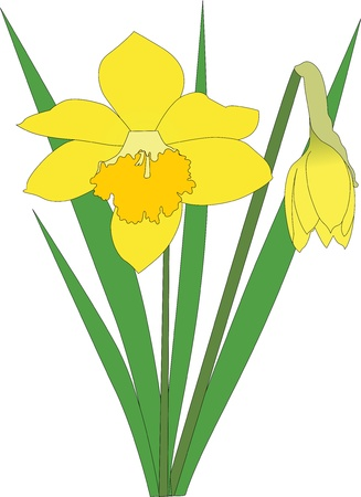 flori culture: Narcissuses flowers it is isolated on a white background