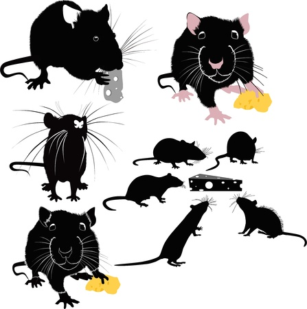 rodents: Rats of the mouse rodents animals cheese