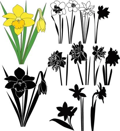 narcissus: Narcissus  Illustration